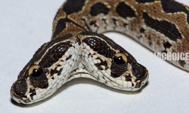 Two-Headed Viper That Could Kill A Human With A Single Bite Discovered In India (Pix)