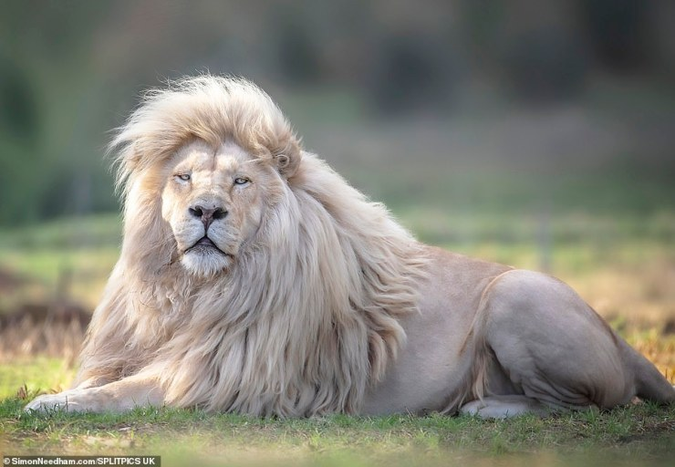 Meet Rare White Lion With Gorgeous Hairstyle (Pictures)