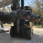 Man Opens Stomach Of Monster Alligator To Find Tags Of 5 Missing Dogs In US (Pics)