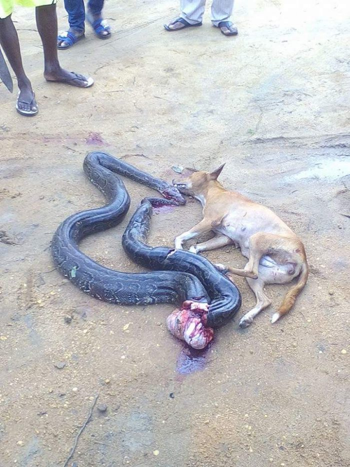 1 193 700x933 - This Big Python Tried To Swallow A Dog, You Won't Believe What Happened Next (Photos)