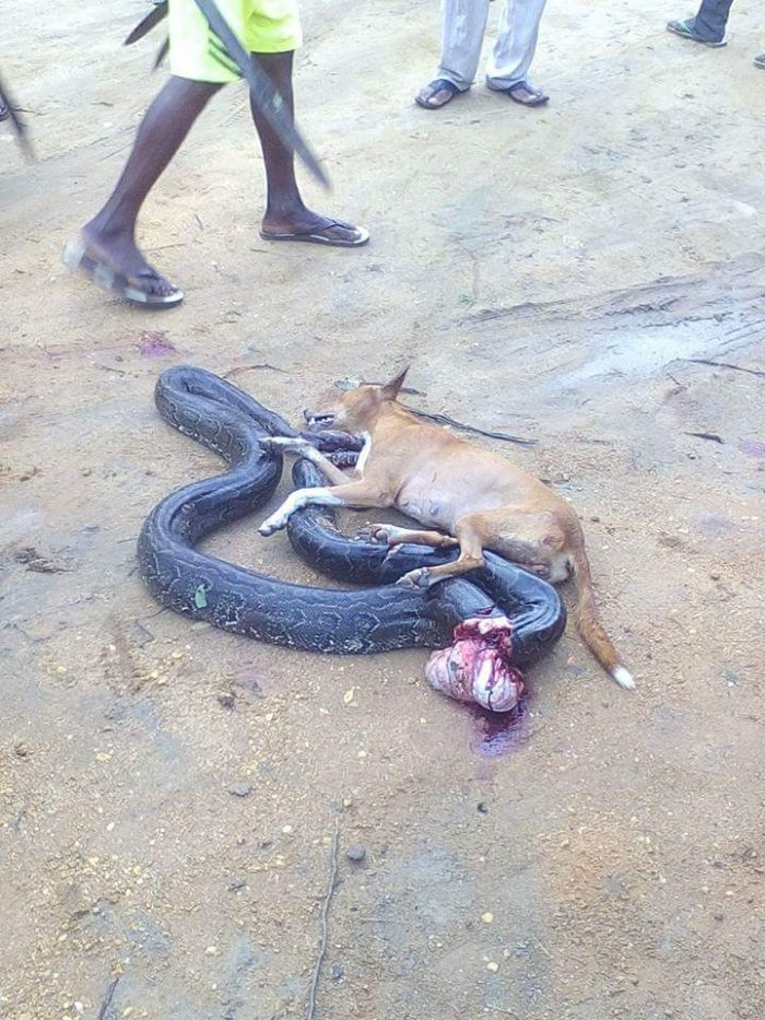 2 137 700x933 - This Big Python Tried To Swallow A Dog, You Won't Believe What Happened Next (Photos)