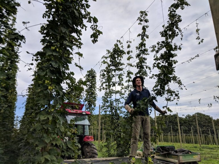 Harvesting hops at Pure Mitten