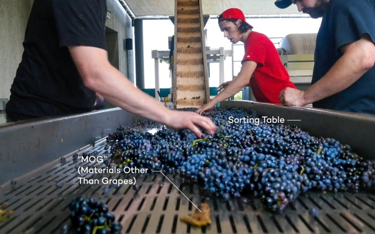Wine grape sorting table with Cabernet Sauvignon in Sonoma and MOG (materials other than grapes)