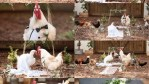 Lady organizes an elaborate wedding ceremony for 2 chickens