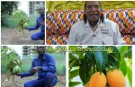 Apostle Safo Kantanka plants and harvest organic mango in four months instead of 5 years (Video)