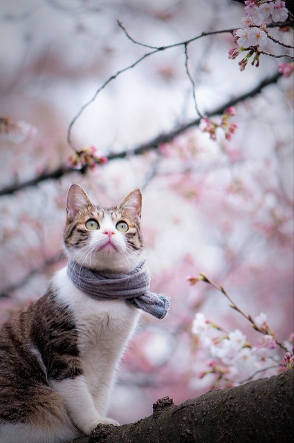 Cat_Delights_in_Hanami_of_Sakura_1