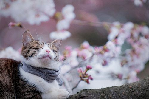 Cat_Delights_in_Hanami_of_Sakura_2
