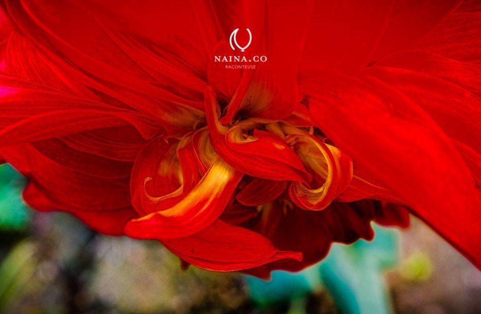 Naina.co-Winter-Flowers-Dahlia-Marigold-Raconteuse-Storyteller-Photographer