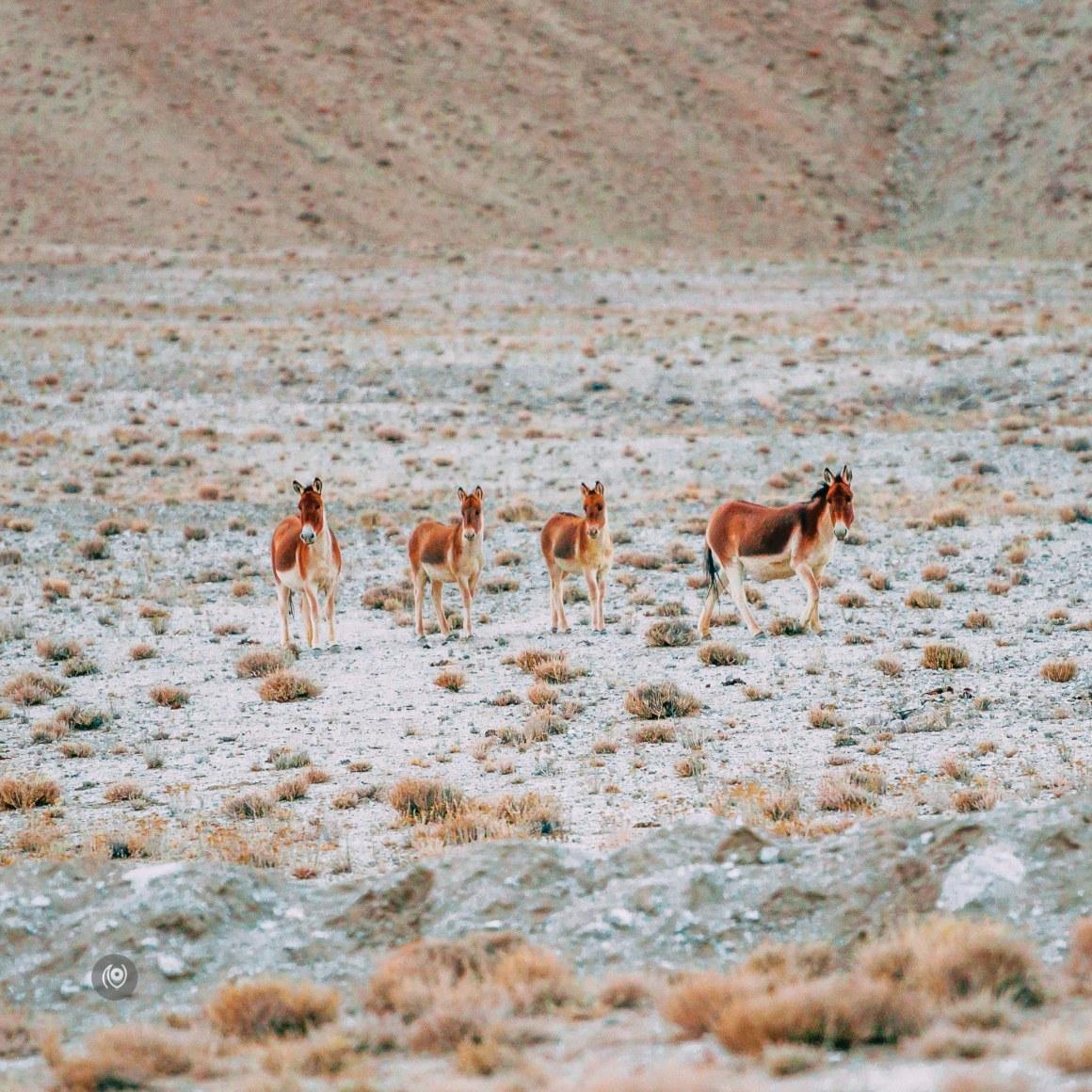Naina.co, #Landscape, #EyesForDestinations, Ladakh, Leh, India, Travel, Professional Photographer, Photo Prints, #EyesforIndia, Wild Animals, Wild Ass, Fox, Asses, Mountains, Mountain Ranges, Travel Photographer, Lifestyle Photographer, Luxury Photographer, Travel Blogger, Lifestyle Blogger, Luxury Blogger, Blogger