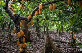 How To Start Cocoa Business In Nigeria