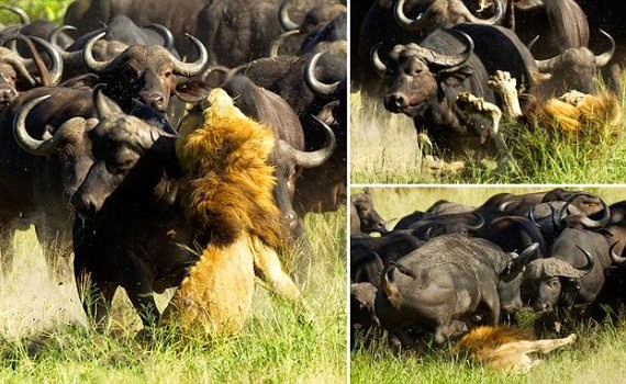 Lion Trampled To Death By Buffalo Stampedepicture