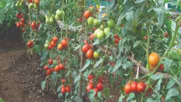 Tomato Variety That Will Reap You Millions in Months