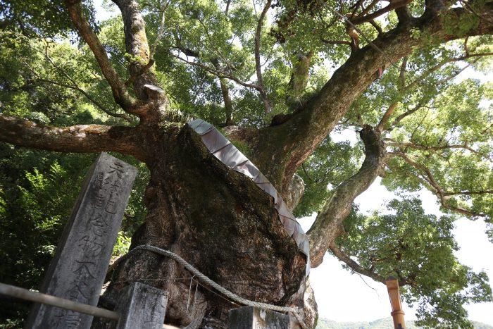 生きる力強さを感じる 縄文クスノキ – 中土佐町観光インフォメーションBLOG