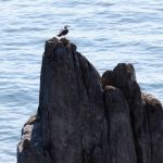 The marble pillar and a black-tailed gull