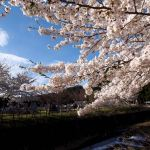 River, graves, and Japanese cherry blossoms