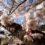 Japanese cherry blossoms
