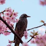 Japanese cherry blossoms and a dusky thrush