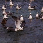 Black-tailed gulls