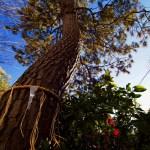 Sacred pine tree