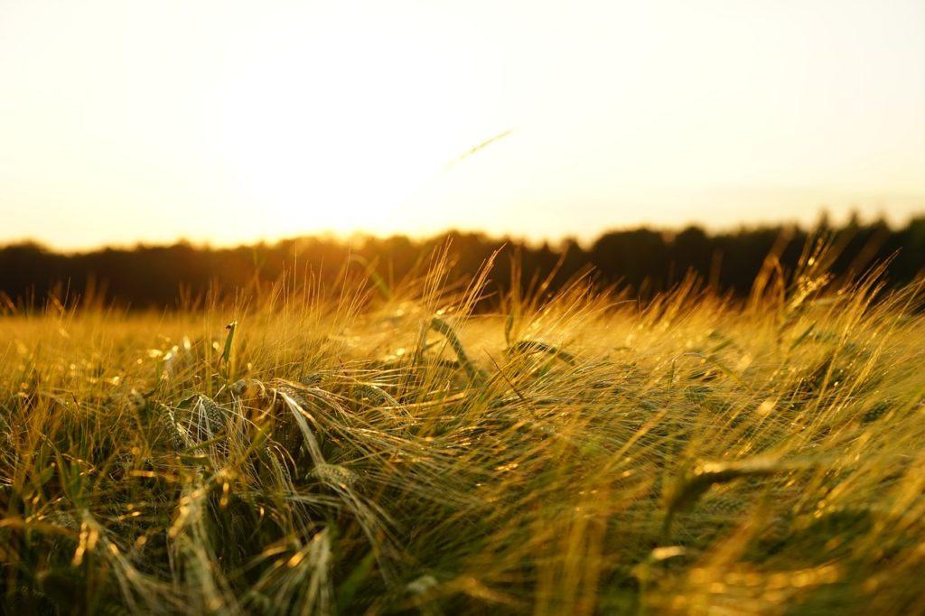 Farming Barley