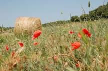 blühende Mohnfelder