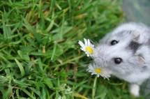 Hamster schnuppert an Blumen
