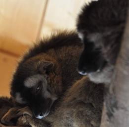 Lemurenfreigehege