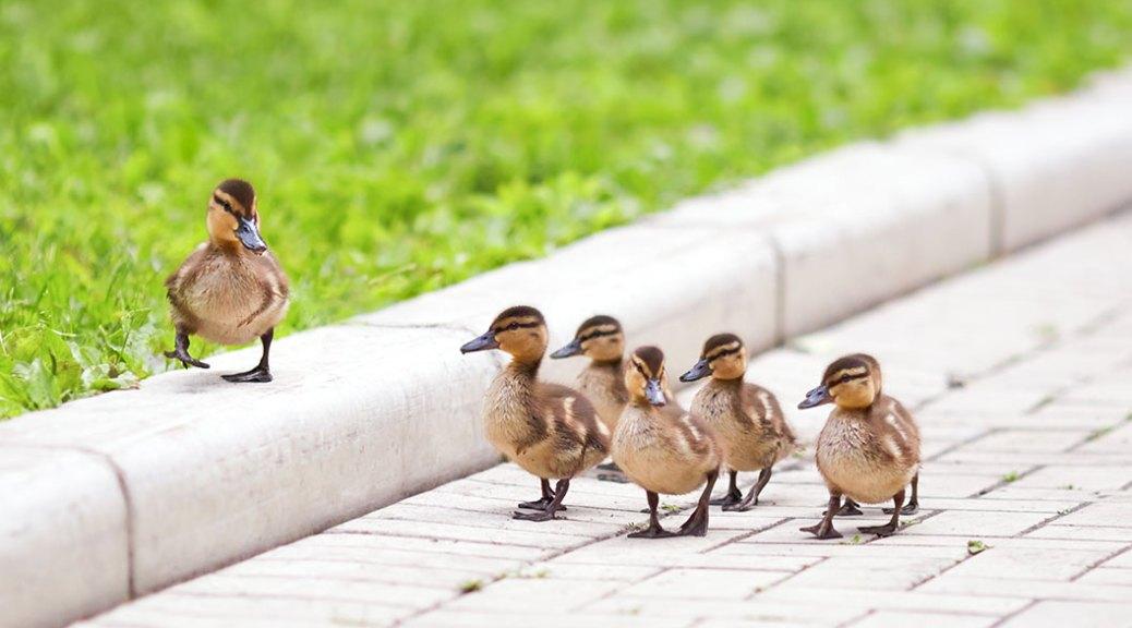 ducks taking baby steps
