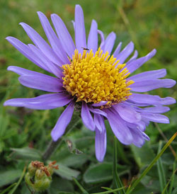 The Aster Aster Flower