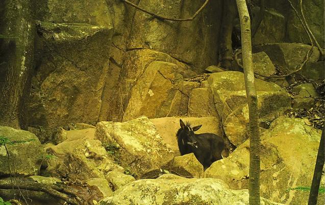 Chinese serow (Capricornis milneedwardsii)