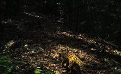 Marbled Cat (Pardofelis marmorata)