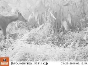 wildlife-laos-muntjac