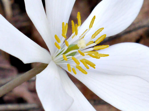 Bloodroot Plant Uses