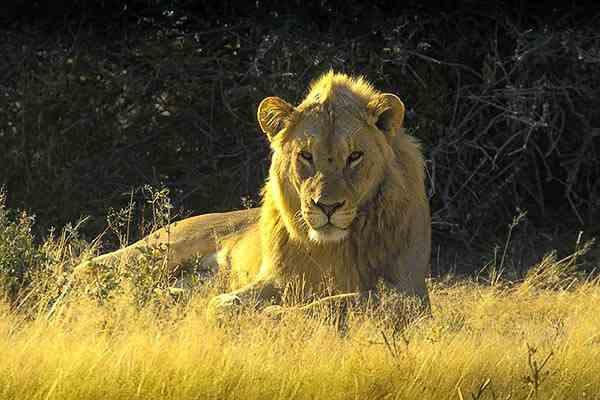 Lion - Namibie safari voyage sur mesure et groupe Namibie Botswana Voyage Namibie carte et prix