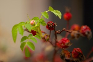 rosehip blossoming
