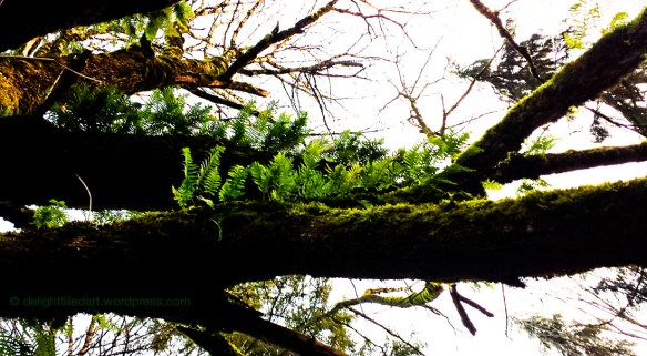 mossy old tree with licorice ferns