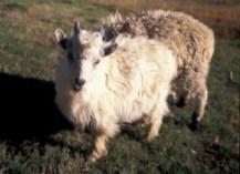 Cashmere Goat