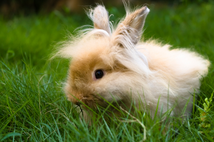 fawn_angora_rabbit