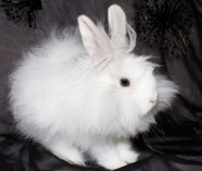 white angora rabbit