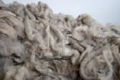 Stunning Polwarth raw New Zealand wool fleece
