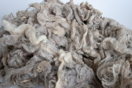 The raw Polwarth fleece before any washing. Isn't it wonderful, so clean.