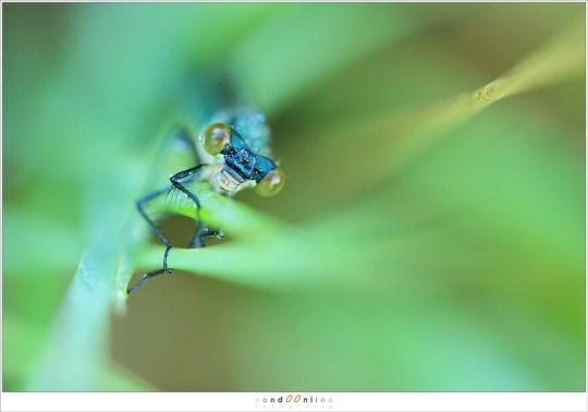 Een waterjuffer in het gras (NH001178)