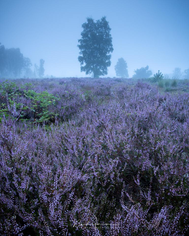 Heide in de mist