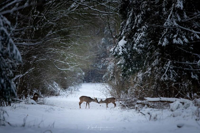 Reeën in de sneeuw