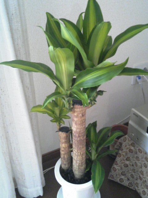 A free Dracaena Massangeana plant received from the local city hall.