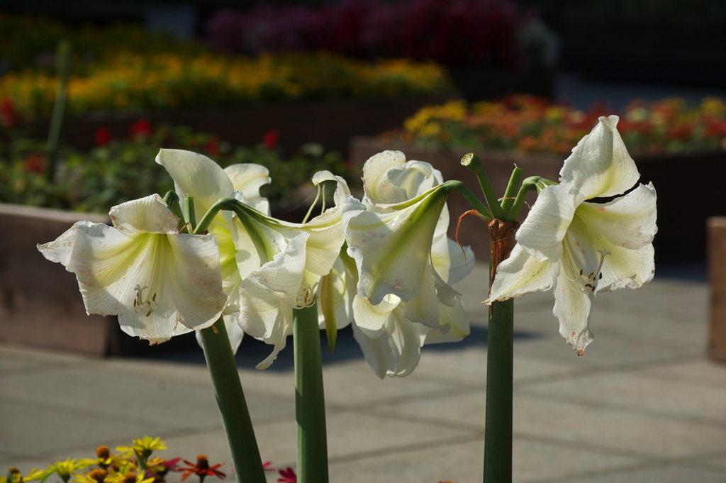 Flower Gardens of Enoshima