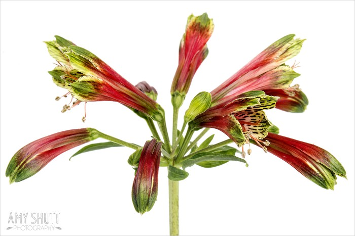 Alstroemeria psittacina 'Parrot Lily'