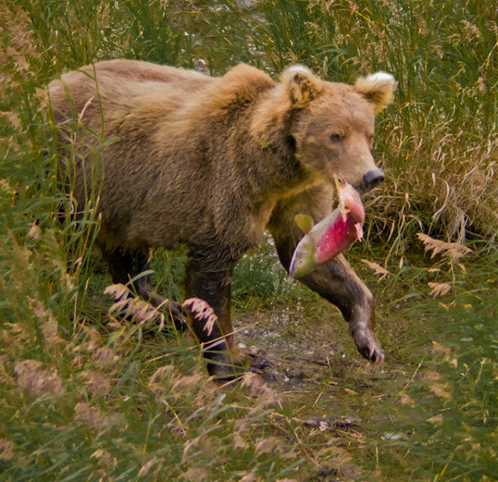 Alaskan brown bear (grizzly) with a salmon at the Brooks River, Katmai National Park, Alaska.