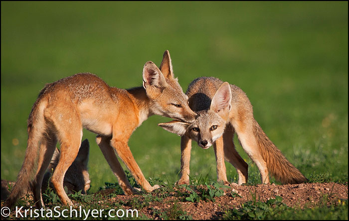 Kit foxes in the US-Mexico borderlands.