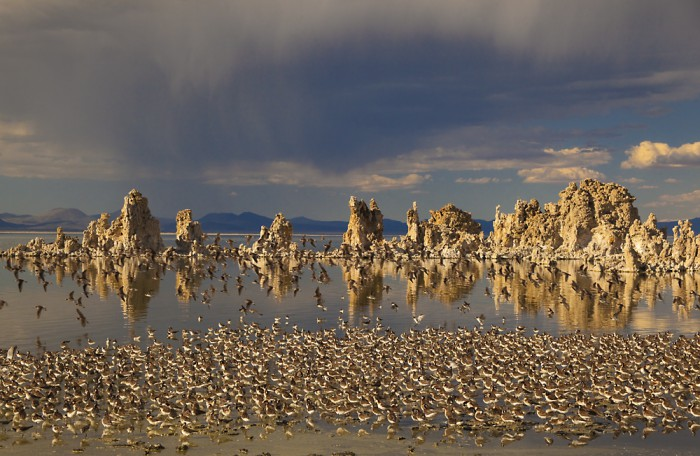Wilson's Phalaropes (Phalaropus tricolor) flock at South Tufa, Mono Lake, California, USA